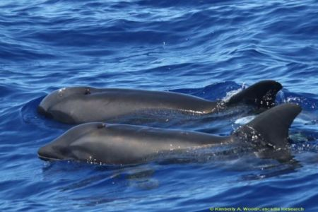 ハワイで発見された生物、遺伝子解析でクジラとイルカとの混血と判明
