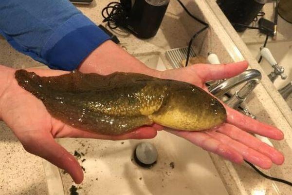 米の研究チームが記録破りのオタマジャクシを発見、その姿が巨大すぎる!