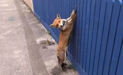 英で柵に手が挟まって動けない野生のキツネを発見、無事救助される
