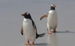 動物の世界にもLGBTが?オーストラリアでオス同士のペンギンカップルが話題に