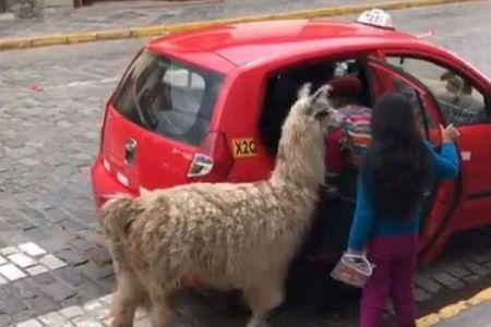 アルパカ、タクシーに乗る!ペルーの町で撮影していた人もびっくり