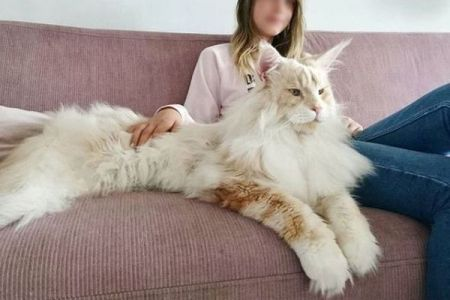 もはやライオンのよう!とっても大きなネコがインスタグラムで話題に