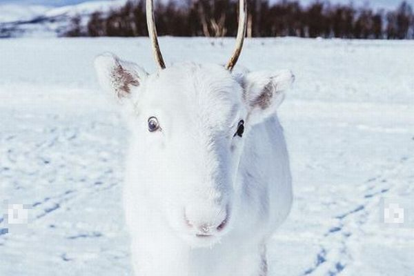 ノルウェーで撮影された、珍しい純白のトナカイの赤ちゃんがかわいい
