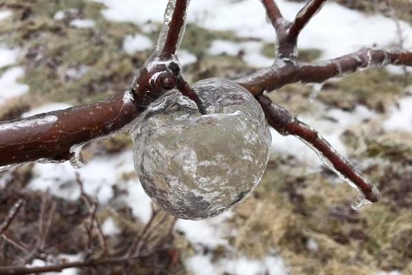 """絶妙な気温が生み出した不思議な現象""""ゴースト・アップル""""が美しい"""