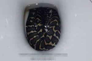 オーストラリアでトイレに座った女性、便器に潜んでいたパイソンに尻を咬まれる