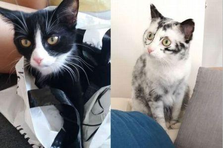 黒い毛が変色し、全身がほぼ真っ白に!すっかり姿を変えたネコが珍しい