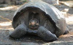 ガラパゴス諸島で、100年以上前に絶滅したはずのゾウガメが発見される