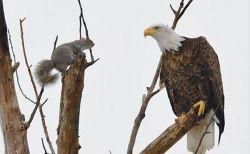 「おや?」リスとワシが木の上でばったり遭遇、お互いに驚いたような写真がユニーク