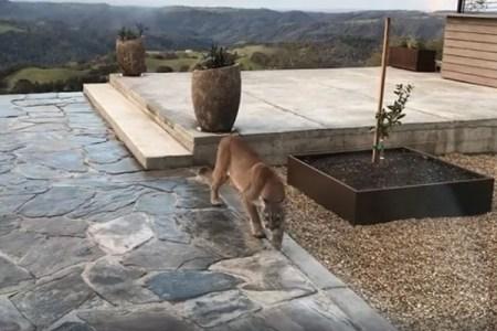 マウンテンライオン、米で自宅の庭に現れ悠々と散歩する姿を住人が撮影