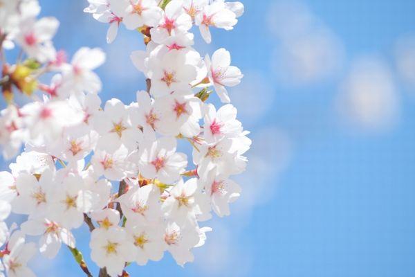 ソメイヨシノのゲノム解析が行われ、将来開花時期の予測も可能に