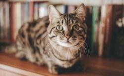 猫は家の中で飼うのが正解?放し飼いにすると感染リスクが高まるとの研究結果