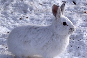 """うさちゃんのイメージ崩壊!野生のウサギが頻繁に""""動物の死骸""""を食べていることが明らかに"""