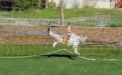 可哀そうだけどちょっと可愛い…サッカーネットに引っかかったボブキャットが話題に