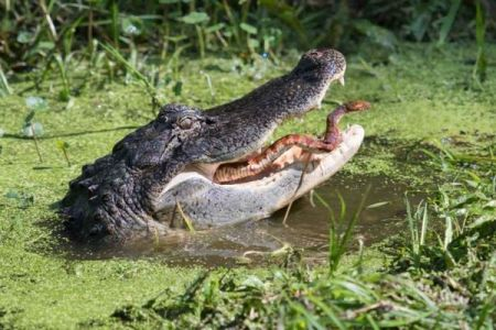 ワニの口からヘビが顔を出す?米で撮影された珍しい写真が話題に
