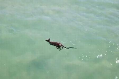 海の中をスーイスイ、オーストラリアで器用に泳ぐカンガルーを目撃【動画】