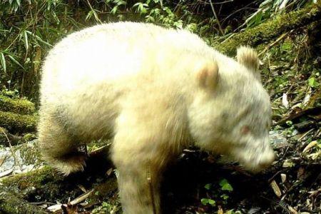 中国四川省で全身が真っ白なパンダを撮影、野生のアルビノを初めて確認