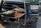 車にはさまったのはなんと孔雀!その後無事に脱出成功