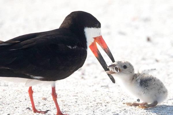 母鳥がくわえているのはタバコ!浜辺でヒナにエサを与える写真が物議に