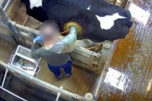 牛の体に穴を開けて直接胃から出し入れ…保護団体が残酷だとして動画を公開