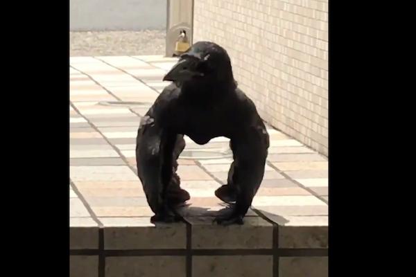 名古屋の「ゴリラカラス」に世界が注目!ワシントン大学の専門家の意見とは?