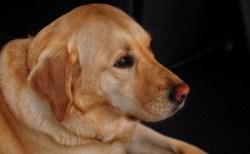 """効果が認められれば人間への応用も!犬の癌に効果を発揮する""""ワクチン""""の研究が進む"""