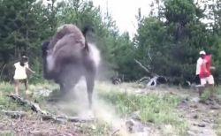 野生のバイソンが突然暴走、9歳の少女が襲われ宙へ飛ばされる