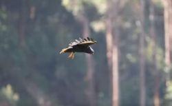 タカの仲間が空中でホバリング、同じ位置にとどまり続ける珍しい姿が撮影される