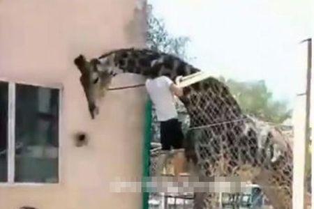 酔っぱらった男が動物園のキリンの背中に乗った!果たしてその結末は?