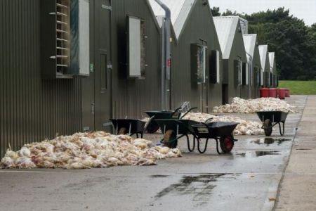 猛暑の影響か?イギリスの養鶏場で数千羽のニワトリが大量死