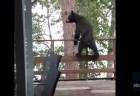 巨体のクマが、サルみたいに木に飛び移る珍しい瞬間が撮影された