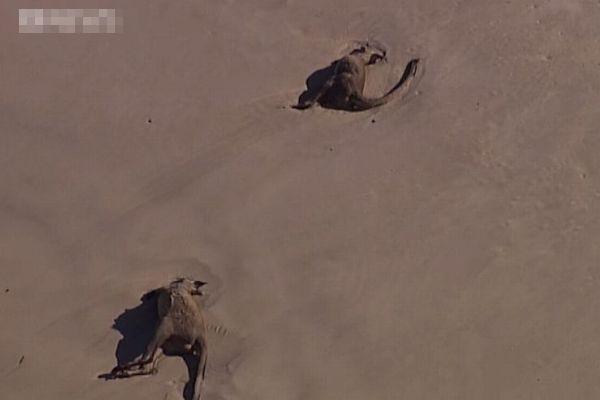 豪で森林火災に巻き込まれたカンガルー、多くの死骸が付近のビーチで発見される
