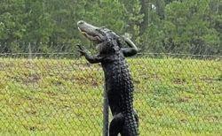 まさかの映像、大型のワニがフェンスをよじ登り、越えちゃった!