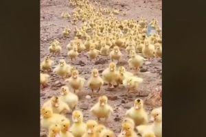 まさに黄色い軍団、数千羽のアヒルのヒナが行進していく様子が可愛いすぎる!