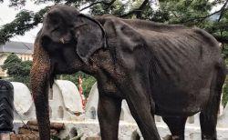 スリランカで撮影された70歳のゾウ、飢えて痩せすぎた姿がショッキング