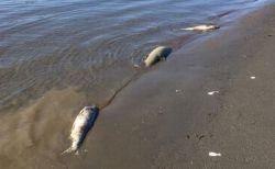 気候変動の影響か?アラスカの川で数百匹のサーモンが大量死