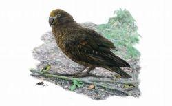 NZに巨大なオウムが住んでいた!背の高さが1mもある鳥の化石を発見