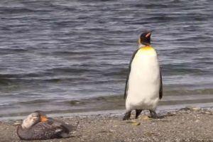 「何もいないよ、何も…」カモを恐れ、横歩きして離れていくペンギンが人間みたい