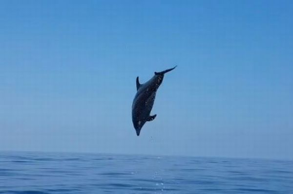 釣り人が網に絡まっていたイルカの子供を救助、母親が感謝の大ジャンプ