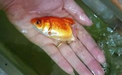 半分になった金魚がそのまま元気に生きている!タイのSNSで話題に