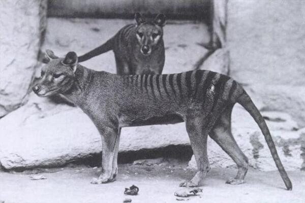 実は生存している?絶滅したはずのフクロオオカミ、目撃情報が相次いでいた