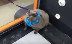 ダイエットしたくないニャー!ルームランナーで片足しか動かさないネコがかわいい