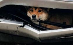 まさに奇跡!車にひかれた柴犬、バンパーの間にはさまり生き延びる