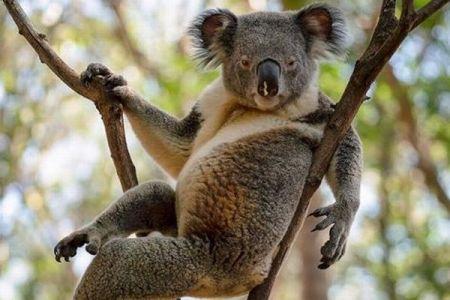 豪で撮影されたコアラの写真、ポーズを決めた姿がセクシー!