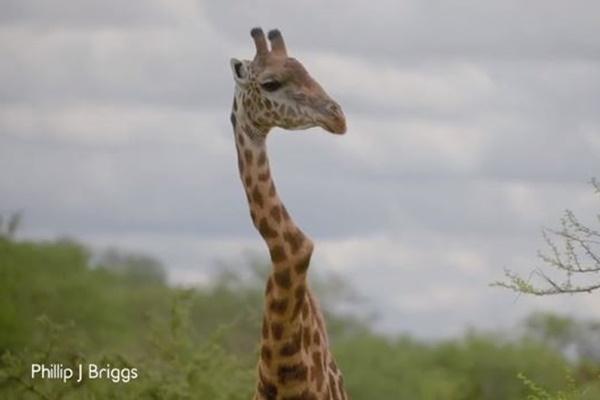 ケニアで首の曲がった珍しいキリンの映像が撮影される