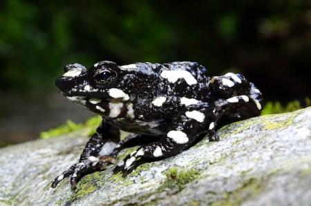 絶滅した「星空の夜」という名のカエル、まだいることを原住民だけは知っていた