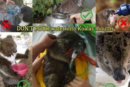 コアラにペットボトルで水を与えるのはNG、死亡例があると保護団体が警鐘を鳴らす