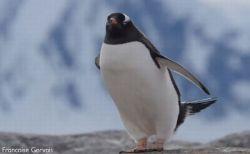 「ちょ、ちょっと飛ばさないで!」南極で撮影されたペンギンの動画がユニーク