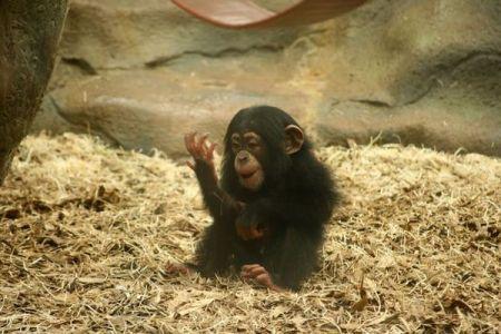アフリカの4つ星ホテル、チンパンジーの子供を料理として提供か