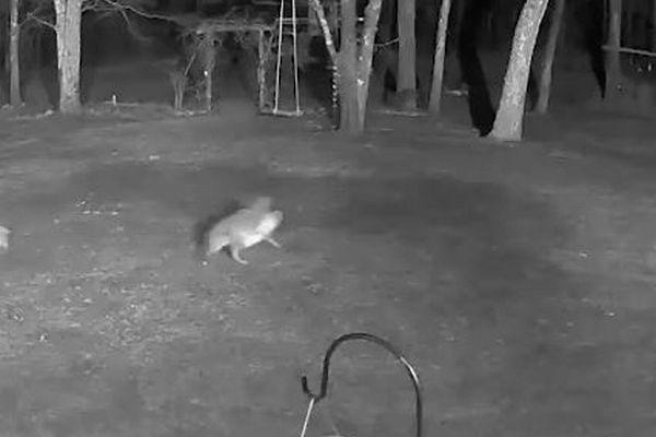 野生のコヨーテが小型犬を襲い、くわえて連れ去る映像がショッキング