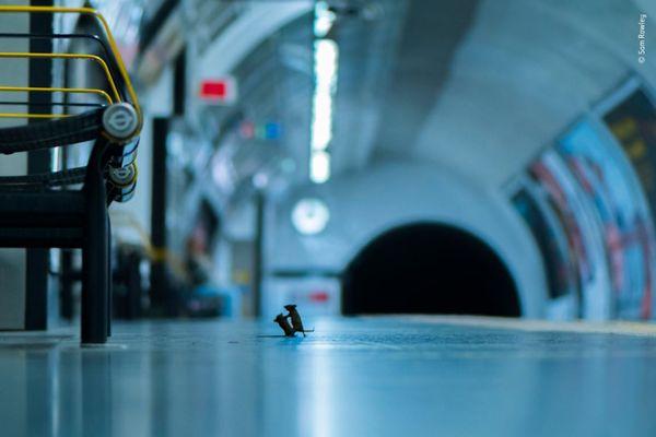 地下鉄でネズミが喧嘩…英の写真コンテストに入賞した作品がユニーク